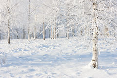 Birch forest in snow and frost Stock Image