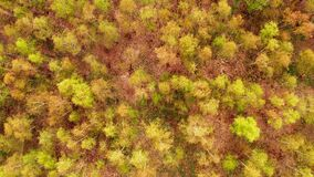 Birch forest in spring from above
