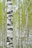 Birch forest in spring Royalty Free Stock Photos
