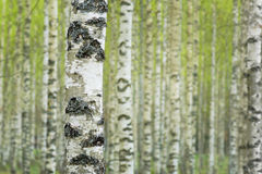Birch forest in spring Stock Image
