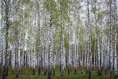 Birch forest in the spring Stock Images