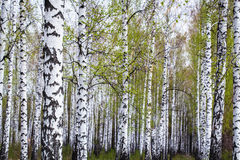 Birch forest in the spring Stock Photo