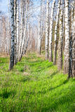 Birch forest in the spring Royalty Free Stock Image