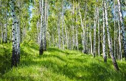 Birch forest. Spring birch forest and green grass stock images