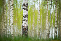 Birch forest in spring Stock Photo