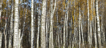 Birch forest stems in fall Royalty Free Stock Photo