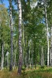 Birch forest. The summer, bright day in birch forest Royalty Free Stock Photo