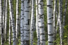 Birch forest in summer morning.  Stock Photography