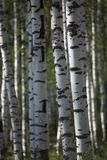 Birch forest in summer morning.  Stock Image
