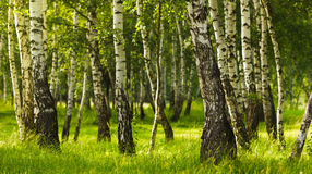 Birch forest while summer season Stock Photo