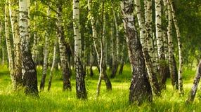 Birch forest while summer season stock photo