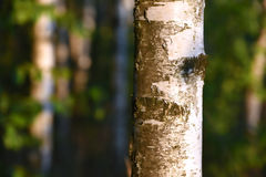 Birch forest. In the sun Royalty Free Stock Photos
