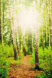 Birch forest and the sun Royalty Free Stock Photography
