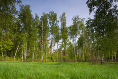 Birch forest and sun Stock Photography