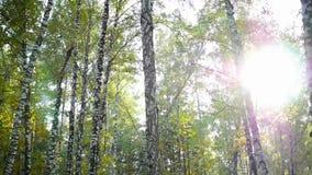 Birch forest in sunlight. Beautiful birch forest in sunlight stock video