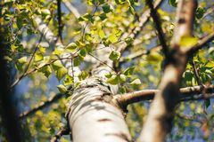 Birch forest in sunlight. In the morning Royalty Free Stock Photography