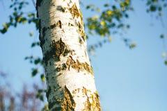 Birch forest in sunlight Stock Photos