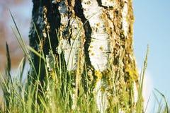 Birch forest in sunlight Stock Photo