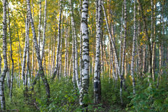Birch forest in sunlight in the morning.  Stock Images