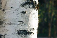 Birch forest in sunlight Stock Photography