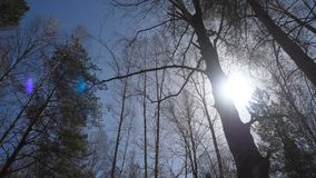Birch forest in sunlight in the morning. Birch grove in autumn Stock Images