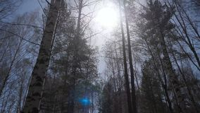 Birch forest in sunlight in the morning. Birch grove in autumn Stock Photo