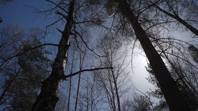 Birch forest in sunlight in the morning. Birch grove in autumn Royalty Free Stock Images