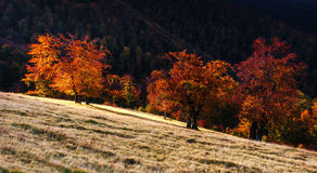 Birch forest in sunny afternoon while autumn season Stock Photography