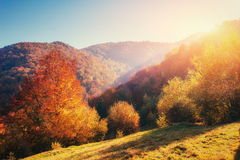 Birch forest in sunny afternoon while autumn season. Landscape. Ukraine Royalty Free Stock Photography