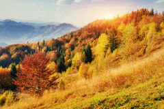 Birch forest in sunny afternoon while autumn season. Stock Photo