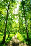 Birch forest on a sunny day. Green woods in summer. Spring landscape stock image