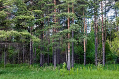 Birch forest on sunny day Royalty Free Stock Photo