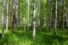 Birch forest on sunny day Royalty Free Stock Image