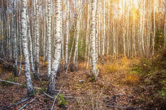 Birch Forest Sunny Day Stock Photos