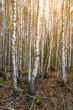Birch Forest Sunny Day Royalty Free Stock Image