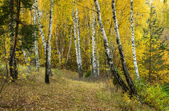 Birch Forest Sunny Day Stock Photo