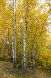 Birch Forest Sunny Day Stock Images