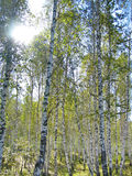Birch Forest Stock Image