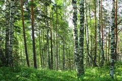 Birch forest in sunny summer day stock photo
