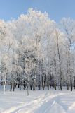 The birch forest in sunny winter day Stock Photos