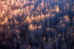 Birch forest in Sunrise Stock Photo