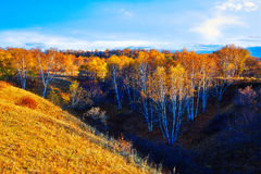 The birch forest sunset Stock Image