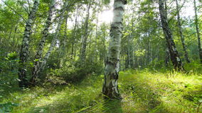 Birch forest. timelapse. 4K. FULL HD, 4096x2304. Rays of the sun through the leaves of birch trees stock footage
