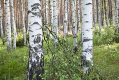 Birch Forest. Birch trees with fallen branch in the woods Stock Images