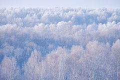 Birch forest under hoarfrost in winter season Royalty Free Stock Photos