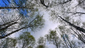 Birch forest view from below. Spring in Russia Royalty Free Stock Image