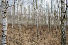 Birch forest. Stock Image