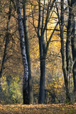 Birch Forest. In warm autumn Stock Photography