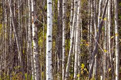 Birch forest. A white birch forest with some fresh green leaves in spring royalty free stock image