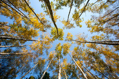 Birch forest with wide angle lens Stock Images